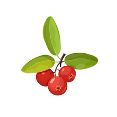 Cranberry vector illustration. Red wild berries isolated on white background.