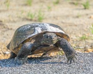 Gopher Tortoise Xing 2