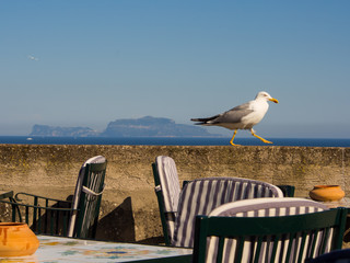 Seagull walking in the cafe on Ischia island