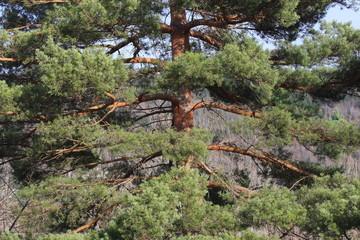 Scots pine in Pyrenees, Pinus sylvestris