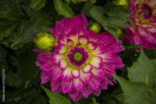Blume Blüte Dahlie Stock Photo And Royalty Free Images On Fotolia