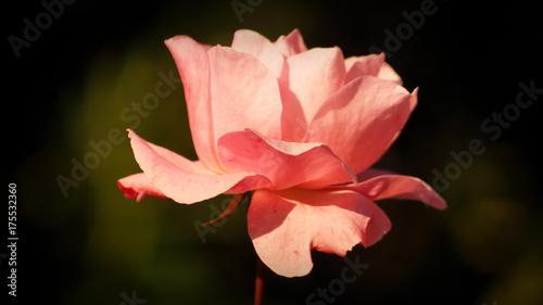 Rosa Colore Rosa Pastello Su Sfondo Sfocato Stock Photo And Royalty