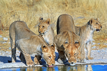 Pride of Lions surrounding a waterhole in Ongava Reserve, Etosha