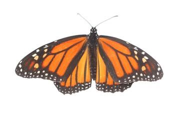 Fotoväggar - Female Monarch Butterfly (danaus plexippus) on White