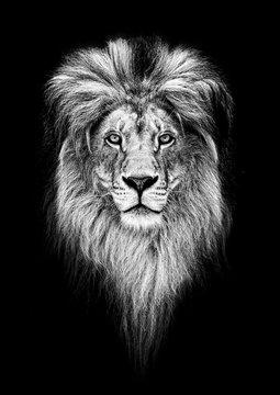 Portrait of a Beautiful lion, lion in dark