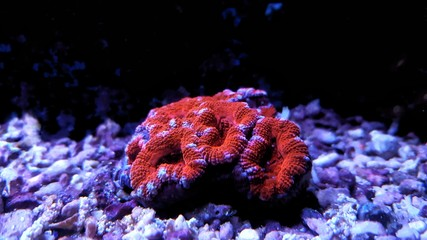 Red Acanthastrea lps coral
