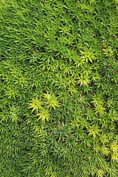 Green succulent carpet