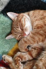 Ginger tom cat sleeping on a blanket