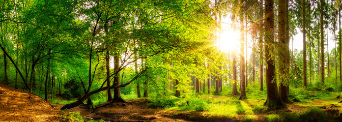 Wall Mural - Panorama of a beautiful forest with bright sun