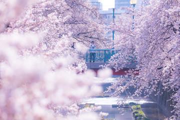 東京の春、石神井川の桜並木、中板橋駅