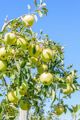 Ripe golden delicious apples on the branch ready to be picked with clear blue sky in background
