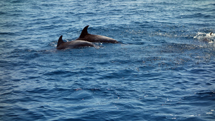 Dolphins black backs and dorsal fins sticking out of ocean water