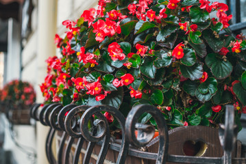 Colorful flower pot with red begonias. Colorful autumn in the city