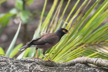 Common Myna,exotic black bird in Tahiti, French Polynesia