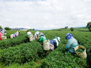 Workers picks tea despite ongoing labor strikes at the tea farm in Chiang rai, Thailand.