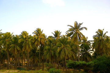 Palm trees in the tropics