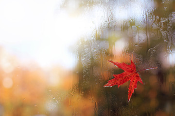 autumn weather outside the window/ red maple leaf stuck to the wet glass after the rain on the street