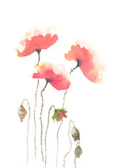 Red poppy flower on white background, watercolor painting, hand painted on paper