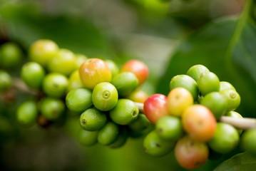 Organic red green  coffee cherries beans