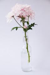 pink chrysanthemum in the vase