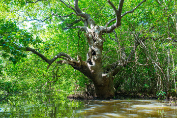 Large tropical tree at the Rekawa lagoon, a scenic coastal lagoon in the south of Sri Lanka, situated at the east-side of Tangalle. The lake has a big biodiversity with a variety of flora and fauna