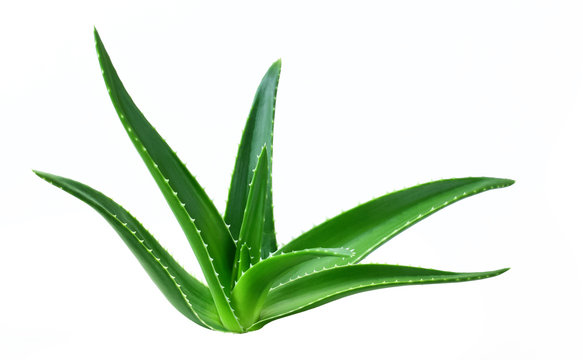 aloe leaf isolated white background