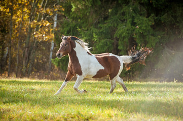 Wall Mural - Beautiful paint horse running on the pasture in autumn
