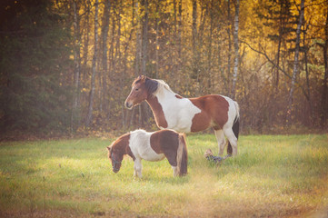 Paint horse and pony on the pasture in autumn