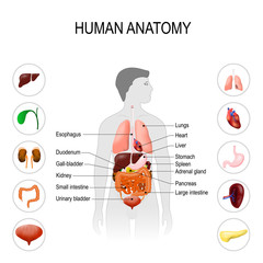 human anatomy. Medical poster