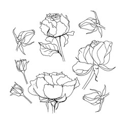Rose set. Liner vector illustration on white