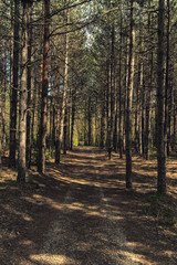 Forest path in a pine forest