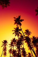 Tall coconut tropical palm trees silhouette at warm vivid summer sunset time