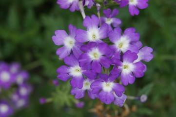 Blume Mit Lila Kleinen Blüten