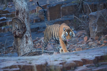 Wild Bengal tiger, Panthera tigris, walking  directly at camera in rocky landscape covered with blue shadows in late evening. Bengal tiger in indian landscape.  Ranthambore national park, India.