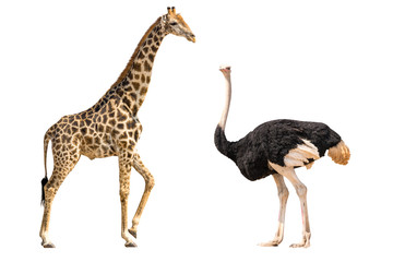 Poster Struisvogel Set of giraffe and ostrich portraits, isolated on white background
