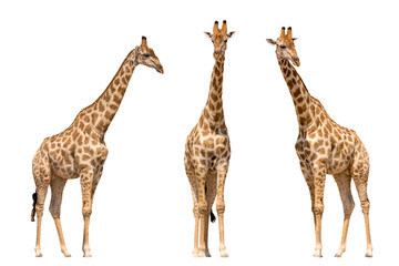 Foto auf Gartenposter Giraffe Set of three giraffes seen from front, isolated on white background