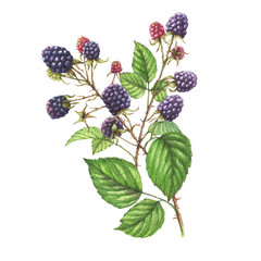 Hand-drawn watercolor illustration with natural motives: blackberry branches, leaves and berries. Drawing decorative branches with wild berries