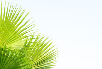 Leaves of a palm tree. Background image with palm leaves for insertion of advertising text.