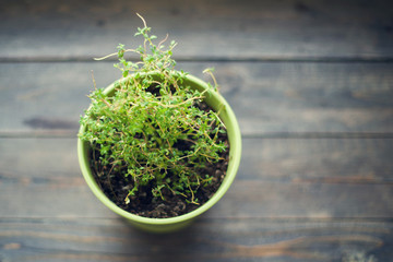 Thyme in a green pot on a wooden surface, top view
