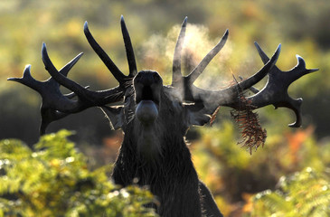 A stag deer walks early in the morning during the rutting season in Richmond Park in London, Britain
