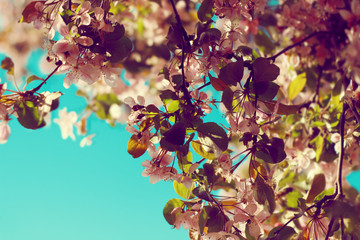 Flowers bloom on the tree in spring over blue sky. Floral background.