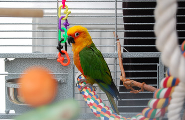 Colorful parrot in cage. A pet Jenday Conure  (Jandaya Parakeet)  Aratinga jandaya. Parrot with bright orange, green and blue feathers, native to Brazil and closely related to Sun Conures. Copy space.