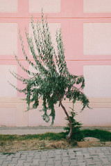 Single Tree with a Pink Building