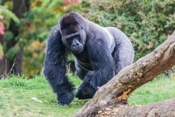 Laaglandgorilla, Gorilla gorilla gorilla