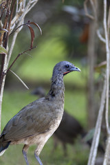 Chachalaca Bird Closeup