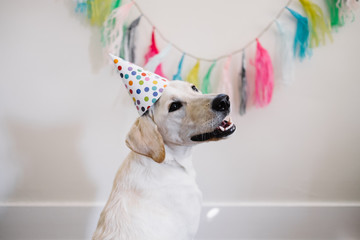 White dog celebrating birthday