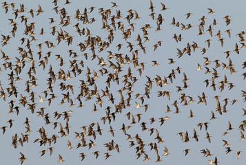 Big flock of dunlins in flight