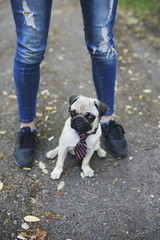 Fashionable pug dog wearing a tie