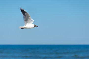 Möwe fliegend vor Horizont