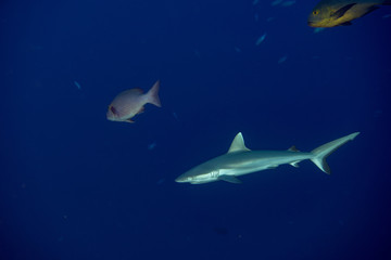 young Grey shark ready to attack underwater in the blue
